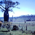 1959 November - bottle tree Coonanga North